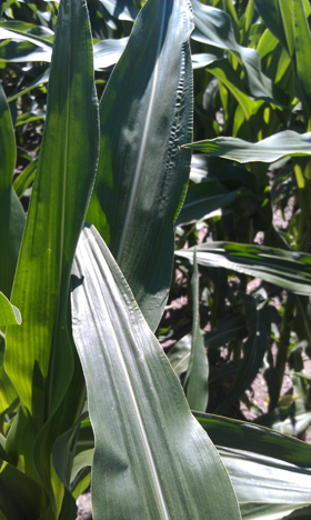 Curling corn leaf.jpg