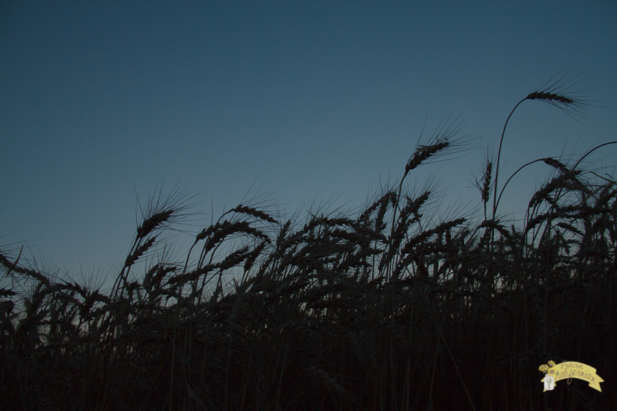 Wheat Harvest 2014-11.jpg
