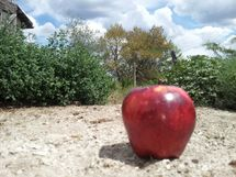 An apple looking for a horse.jpg
