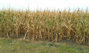 Texas Corn Harvest 1.jpg