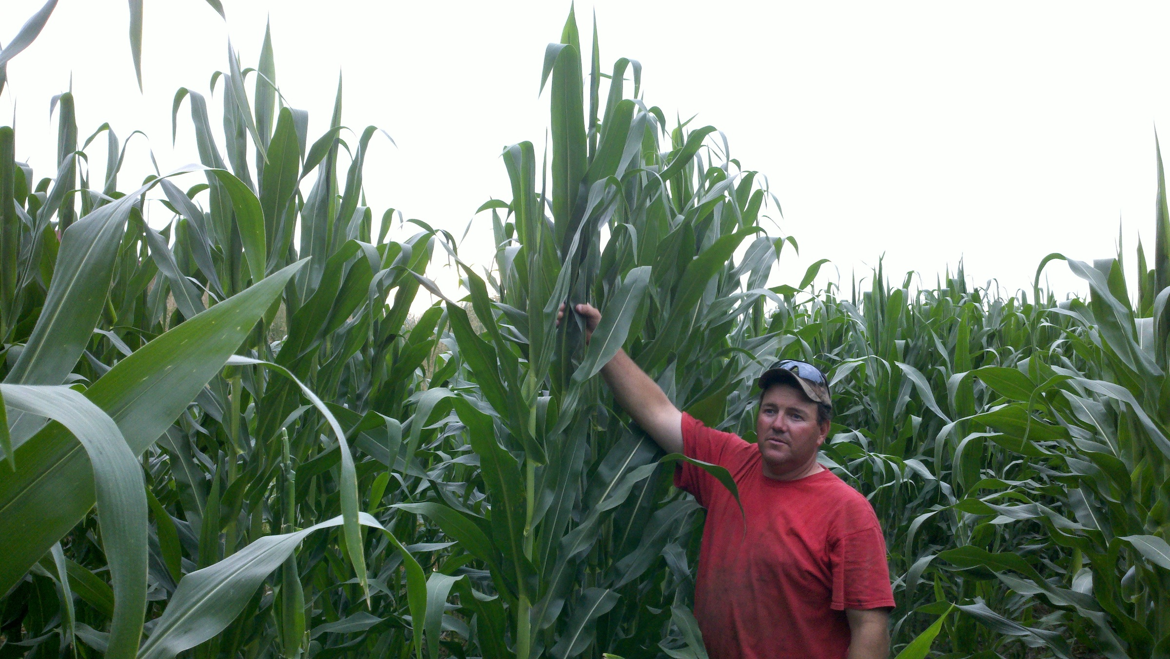 Tall Corn Iowa.jpg