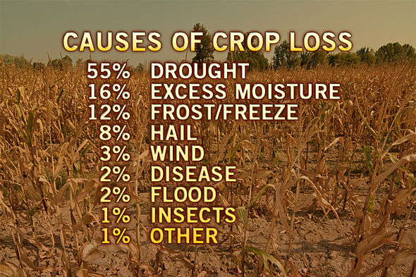 heat-drought-continues-threaten-us-corn-crops_4.jpg