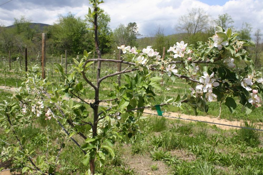 apple trellis up close.jpg