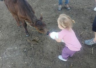 Miss B bottle feeding calf.jpg