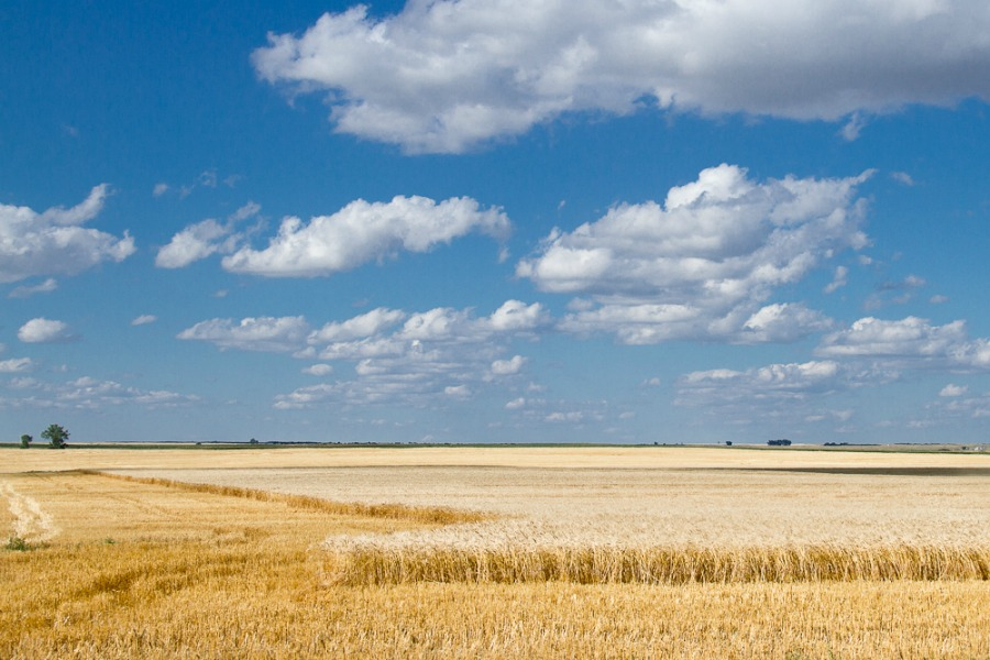 Wheat Harvest 2013-1.jpg