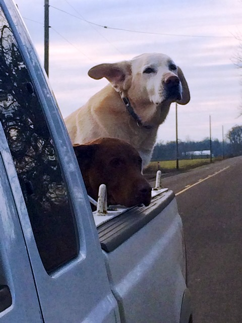 Dogs in Pick-up.jpg