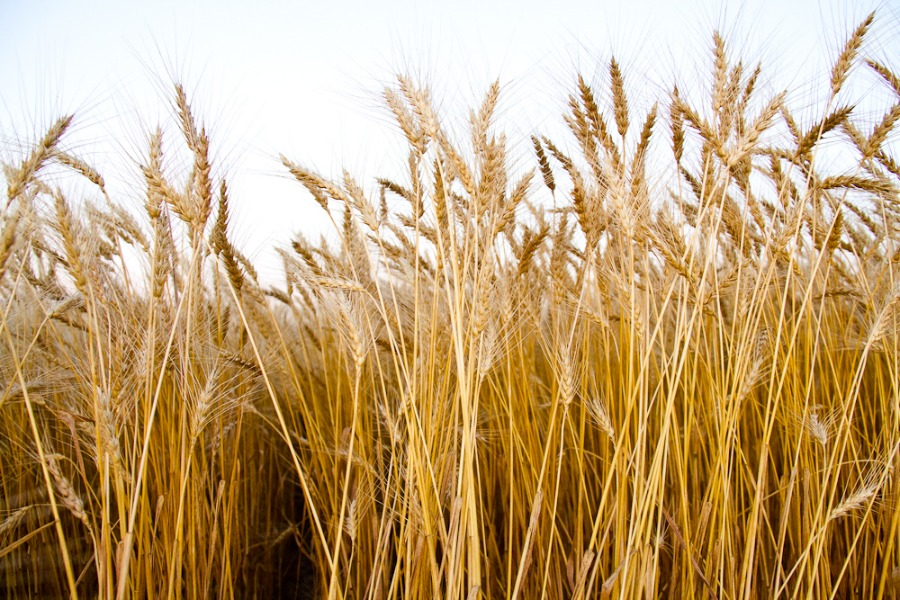 Wheat Harvest 2013-14.jpg.jpg